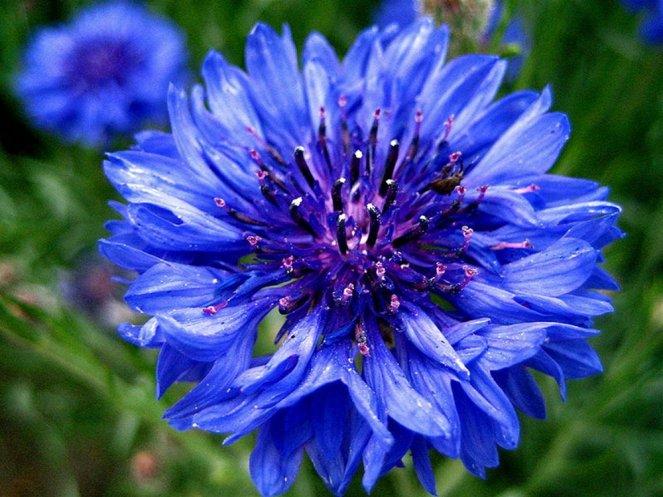cornflower-blue-flower3